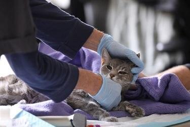 El insólito caso de un gato que dio positivo por coronavirus