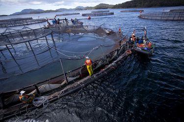 SMA ordena medidas a salmonera Blumar tras masiva mortalidad de peces en centro de región de Los Lagos