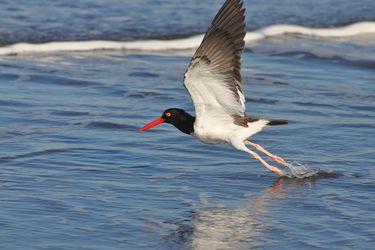 """Diego Luna, especialista en conservación: """"El humedal del Río Maipo es un sitio irremplazable para las aves playeras migratorias"""""""
