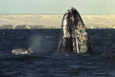 El increíble récord de una ballena que recorrió 27.000 km en busca de alimento y que desató una polémica ambiental