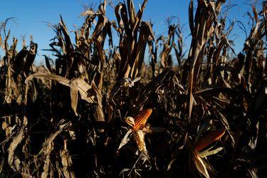 El maíz alcanza máximo de ocho años por sequía en Brasil