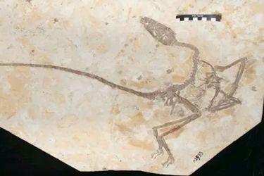 Nuevo dinosaurio emplumado revela cómo se diferenciaban con las aves