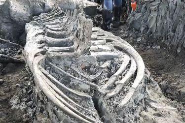 Encuentran fósil de ballena de 5 mil años de antigüedad en perfecto estado
