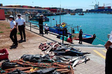 Detienen en Arica a pescadores peruanos con 1.500 kilos de tiburón azul