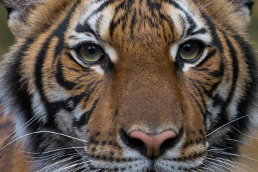 Tigre de un zoológico en Estados Unidos da positivo al examen de coronavirus