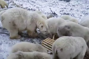 Calentamiento global | Más de 50 osos polares invaden una pequeña localidad rusa