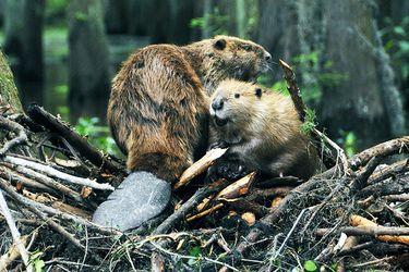 ¿Cómo ve la comunidad la problemática del castor?