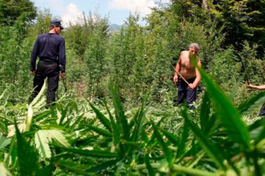 bbc-marihuana