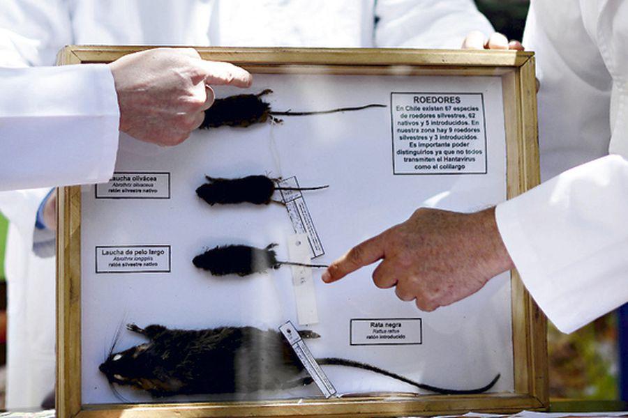 El Hantavirus es transmitido principalmente por ratones colilargos.
