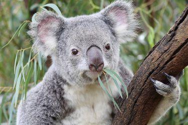 Australia considera clasificar a los koalas como especie en peligro de extinción