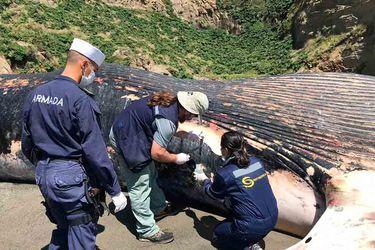 Ballena azul de más de 20 metros varó en playa de Cucao