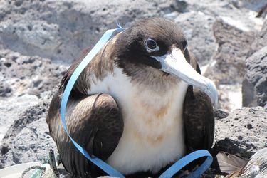 ¿Las aves marinas seleccionan el plástico que ingieren? Estudio detalla la interacción de esta especie con la basura plástica que llega al océano