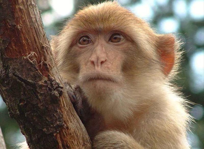 Macaco Rhesus: Por qué este singular mono es tan importante en la lucha contra el coronavirus - La Tercera