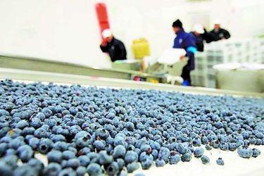 Hortifrut busca duplicar su producción, mira mercados y pone foco en Perú