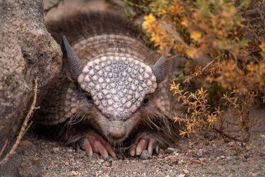 La reaparición del extraño mamífero que habita el norte de Chile que se alimenta de insectos y no toma agua y que los científicos luchan para que no se extinga