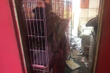 Detienen a hombre en Providencia por maltrato animal: Mantenía a 66 perros, siete gatos y siete aves en hacinamiento