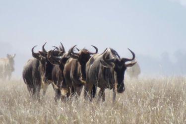 Crean el primer atlas mundial de migraciones de ungulados: caballos, burros, gacelas, cebras y rinocerontes