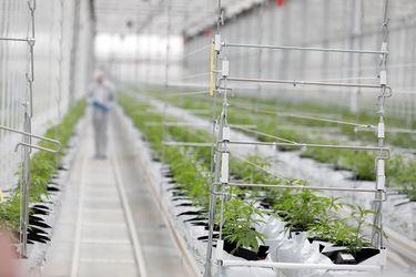 ¿Cuánto mueve el negocio de la cannabis en Chile y en el mundo? Los datos del primer reporte del mercado a nivel global