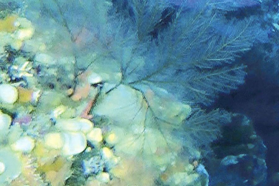 Coral-Negro_2