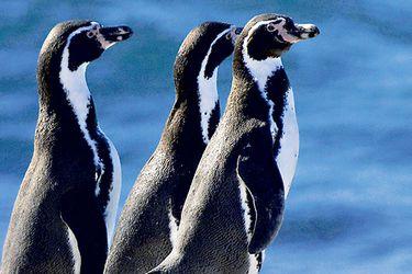 pinguino-de-humboldt-sn-islote-paja-39082710