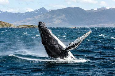 Cuatro ballenas han muerto este año por colisión con embarcaciones: campaña busca visibilizar peligros que enfrentan cetáceos en Chile