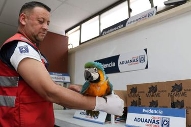 Guacamayo incautado