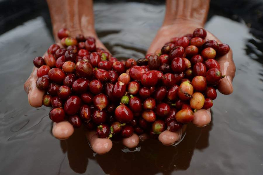 Coffee Harvesting and Processing as Indonesian Crop Forecast to Tumble Most in 5 Years on Drough