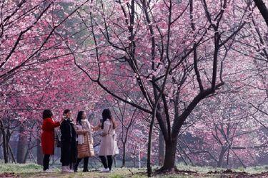 Japón celebra la temporada de la flor de cerezo en medio del brote de coronavirus