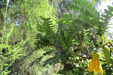 Toromiro: después de seis décadas el milenario árbol de Rapa Nui volverá a la isla tras ser declarado extinto
