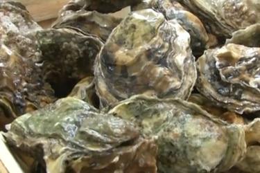 """""""Santuario"""" marino reutilizará conchas de ostras para su preservación"""