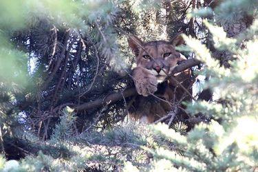 Puma se encuentra en la cima de un arbol dentro de un domicilio particular