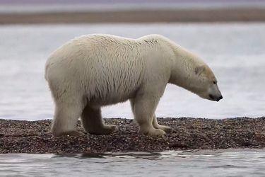 El cambio climático desplaza a osos polares a una aldea en Alaska en busca de alimento