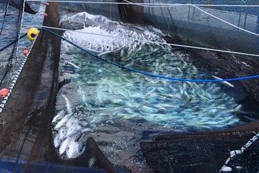 Estudio analiza en profundidad los factores que el año 2016 ocasionaron en Puerto Montt el mayor desastre acuícola registrado en el mundo