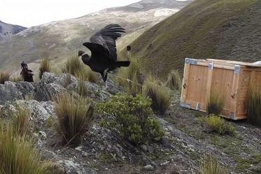 Liberan en Bolivia a dos hembras de cóndor andino en peligro de extinción