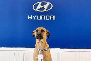 Tucson Prime, el perro recogido en un concesionario Hyundai de Brasil que ahora es toda una estrella