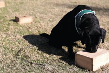 Perros rastreadores son entrenados para detectar positivos por Covid-19