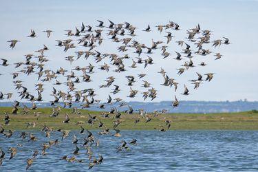 """En increíble viaje de 30 mil km del zarapito:  Humedal marino de Chamiza en Puerto Montt que alberga esta fascinante ave es declarado """"sitio de importancia internacional"""""""