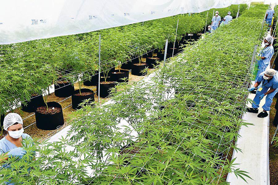 Imagen-Marihuana-Uruguay-AP