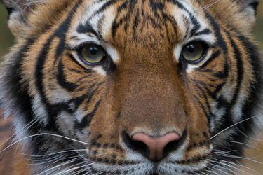 Tigre de un zoológico en Nueva York da positivo por coronavirus