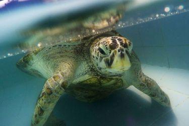 Cirujanos removieron 915 monedas del estomago de una tortuga