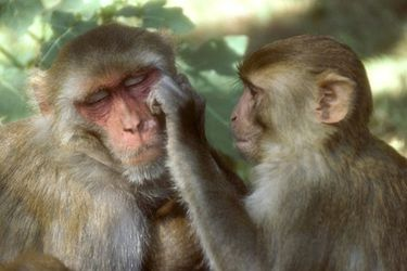 Macaco Rhesus: Por qué este singular mono es tan importante en la lucha contra el coronavirus