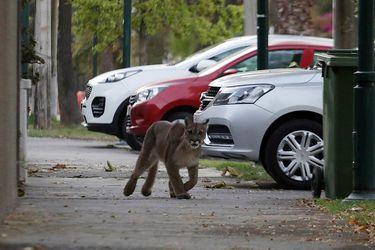 Puma suelto en la calle