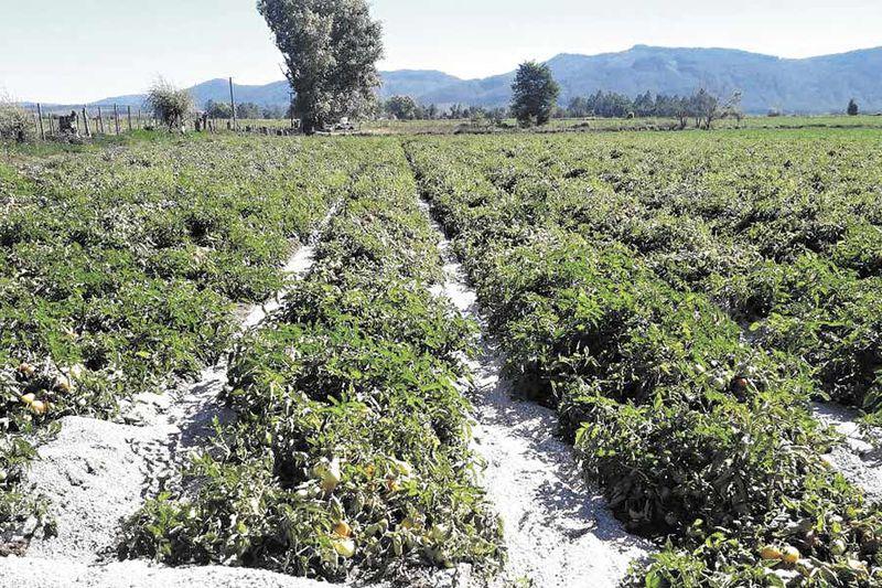 Piedras pómez en plantaciones de la precordillera del Maule.