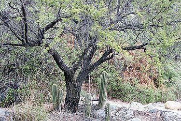 Estudio indica que el espino protege a otras plantas nativas