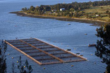 Salmoneras intensifican planes de contingencia ante mortalidad masiva de peces por floración de algas nocivas