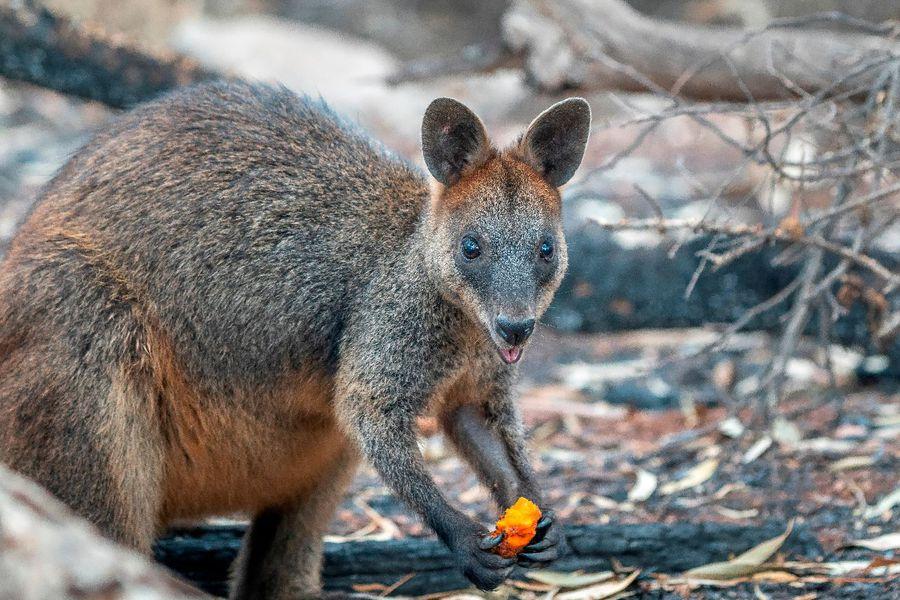 Equipos lanzan alimento a animales afectados por incendios en Australia (Reuters)