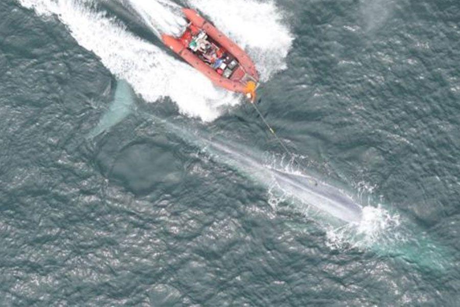 balenna-azul