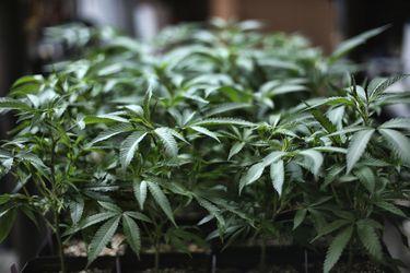 ONU retira el cannabis de la categoría drogas peligrosas: Medida abre posibilidad a investigación y uso médico