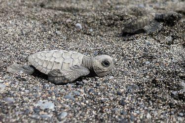 A repoblar el océano | Liberan en Bali a 10 mil crías de tortuga en peligro de extinción