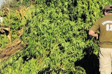 Carabineros: incautación de marihuana producida en Chile aumentó un 29%